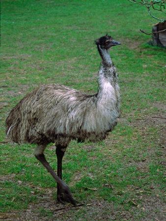 Emu Portrait, Australia-Charles Sleicher-Photographic Print