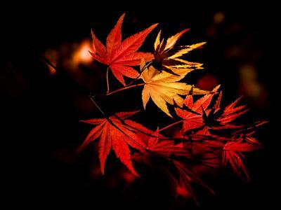 https://imgc.artprintimages.com/img/print/enchanting-yellow-to-red-gradient-on-the-autumn-leaves-of-a-japanese-maple-tree-in-the-forest_u-l-q19xyqr0.jpg?p=0