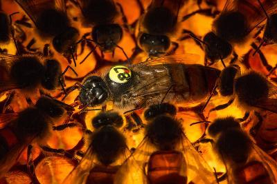 Encircled by Nurse Bees, a Queen Honeybee, Apis Mellifera, in an Experimental Mite-Resistant Colony-Anand Varma-Photographic Print
