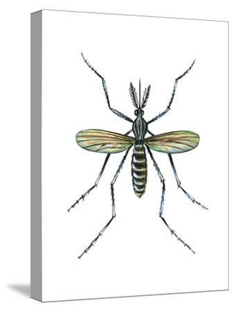 Aedes Mosquito (Aedes Aegypti), Yellow Fever Mosquito, Insects