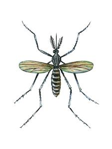 Aedes Mosquito (Aedes Aegypti), Yellow Fever Mosquito, Insects by Encyclopaedia Britannica