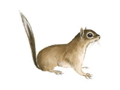 African Pygmy Squirrel (Myosciurus Pumilio), Mammals
