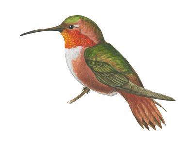 Allen's Hummingbird (Selasphorus Sasin), Birds