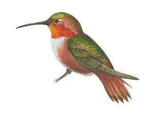 Allen's Hummingbird (Selasphorus Sasin), Birds by Encyclopaedia Britannica