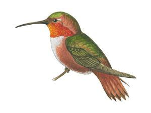 Allen's Hummingbird (Selasphorus Sasin), Birds by Encyclopaedia Britannica