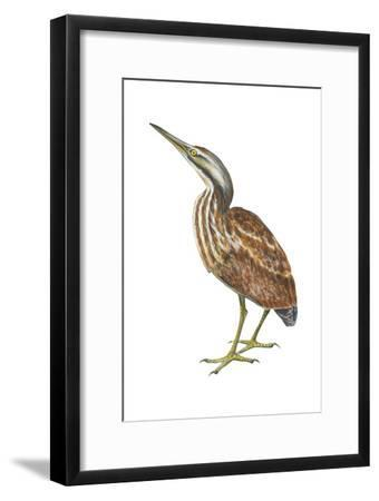 American Bittern (Botaurus Lentiginosus), Birds