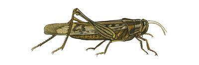 American Grasshopper (Schistocerca Americana), Insects