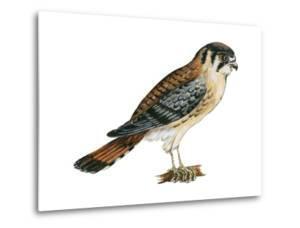 American Kestrel (Falco Sparverius), Sparrow Hawk, Bird by Encyclopaedia Britannica