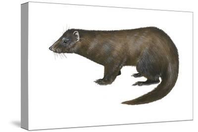 American Mink (Neovison Vison), Weasel, Mammals