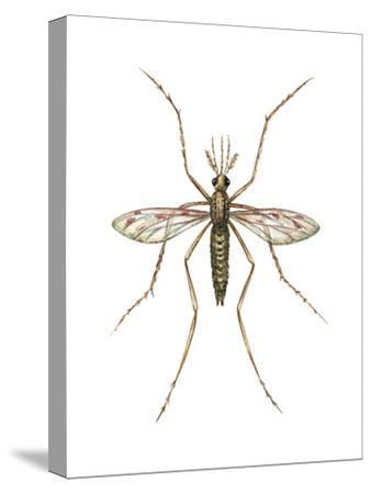 Anopheles Mosquito (Anopheles Quadrimaculatus), Insects