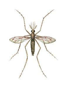 Anopheles Mosquito (Anopheles Quadrimaculatus), Insects by Encyclopaedia Britannica