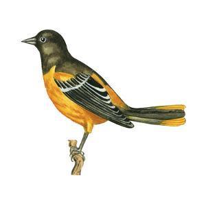 Baltimore Oriole (Icterus Galbula), Birds by Encyclopaedia Britannica