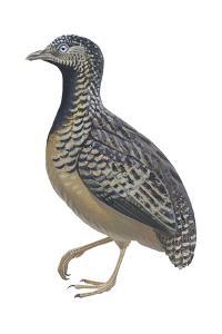 Barred or Common Button Quail (Turnix Suscitator), Birds by Encyclopaedia Britannica