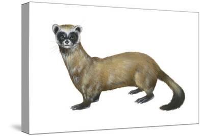 Black-Footed Ferret (Mustela Nigripes), Weasel, Mammals