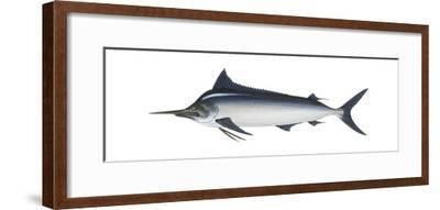 Black Marlin (Istiompax Indica), Fishes