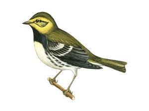 Black-Throated Green Warbler (Dendroica Virens), Birds by Encyclopaedia Britannica