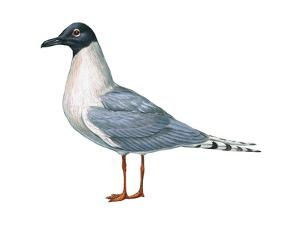 Bonaparte's Gull (Larus Philadelphia), Birds by Encyclopaedia Britannica