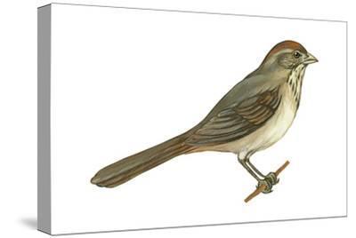 Brown Towhee (Pipilo Fuscus), Birds