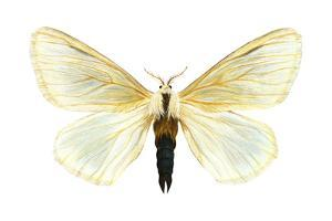 Browntail Moth (Nygmia Phaeorrhea), Insects by Encyclopaedia Britannica