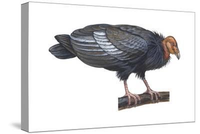 California Condor (Gymnogyps Californianus), Birds