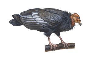 California Condor (Gymnogyps Californianus), Birds by Encyclopaedia Britannica
