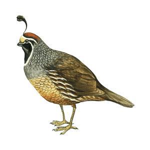 California Quail (Callipepla Californica), Birds by Encyclopaedia Britannica