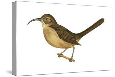 California Thrasher (Toxostoma Redivivum), Birds