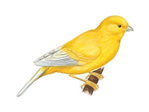 Canary (Serinus Canaria), Birds by Encyclopaedia Britannica
