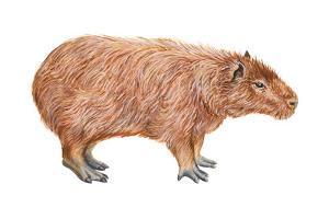 Capybara (Hydrochoerus Capybara), Mammals by Encyclopaedia Britannica