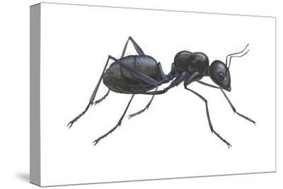 Carpenter Ant (Camponotus Pennsylvanicus), Insects