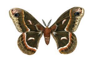 Cecropia Moth (Samia Cecropia), Emperor Moth, Insects by Encyclopaedia Britannica