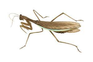 Chinese Mantis (Tenodera Sinensis), Insects by Encyclopaedia Britannica