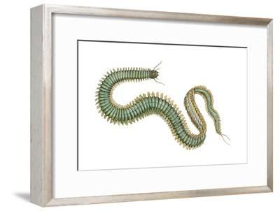 Clam Worm (Nereis Limnicola), Rag Worm, Annelids, Invertebrates