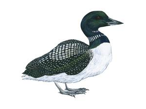 Common Loon (Gavia Immer), Birds by Encyclopaedia Britannica