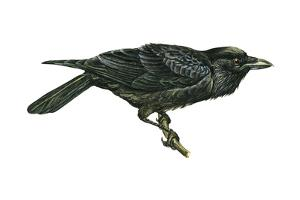 Common Raven (Corvus Corax), Birds by Encyclopaedia Britannica