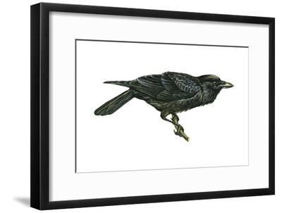 Common Raven (Corvus Corax), Birds