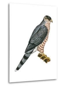 Cooper's Hawk (Accipiter Cooperi), Chicken Hawk, Birds by Encyclopaedia Britannica