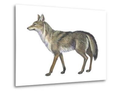 Coyote (Canis Latrans), Mammals