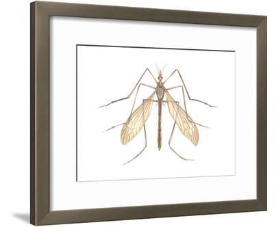 Crane Fly (Tipula Trivittata), Insects