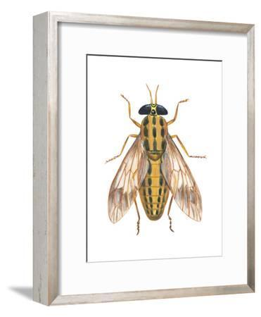 Deer Fly (Chrysops Callidas), Insects