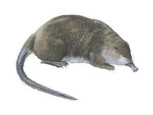 Desman (Desmana Moschata), Mammals by Encyclopaedia Britannica