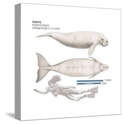 Dugong (Dugong Dugon), Mammals