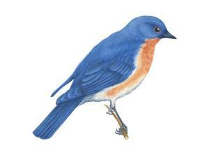 Eastern Bluebird (Sialia Sialis), Birds by Encyclopaedia Britannica