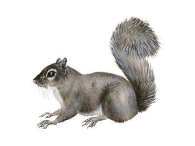 Eastern Gray Squirrel (Sciurus Carolinensis), Mammals