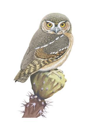 Elf Owl (Micrathene Whitneyi), Birds by Encyclopaedia Britannica