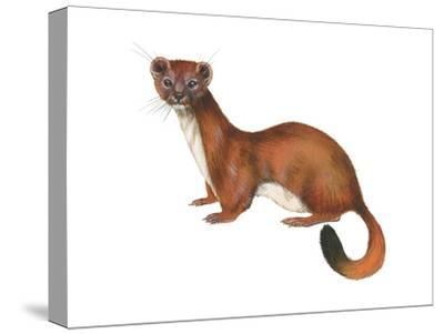 Ermine (Mustela), Weasel, Mammals