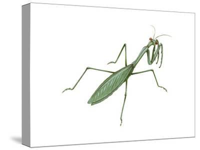 European Mantis (Mantis Religiosa), Insects