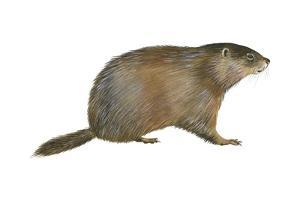 European Marmot (Marmota Marmota), Mammals by Encyclopaedia Britannica