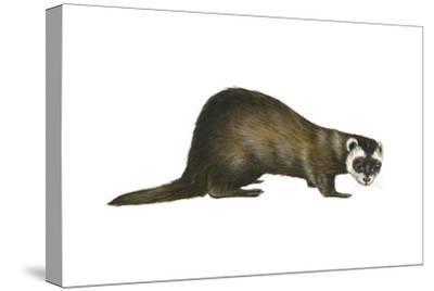 European Polecat (Mustela Putorius), Weasel, Mammals