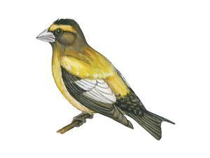 Evening Grosbeak (Coccothraustes Vespertinus), Birds by Encyclopaedia Britannica
